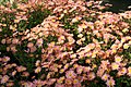 Chrysanthemum Dee Samba 1zz.jpg