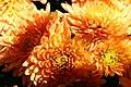 Chrysanthemum Denise 0zz.jpg
