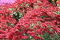 Chrysanthemum Raquel 5zz.jpg