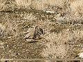 Chukar Partridge (Alectoris chukar) (34056641836).jpg