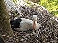 Cicogna e nido.jpg