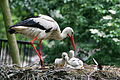 Ciconia ciconia -Artis Zoo, Netherlands -parent and chicks-8a.jpg