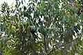 Cinnamomum malabatrum by Santhan.jpg