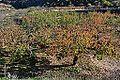 Cirerers prop de l'ermita d'Almudaina.JPG