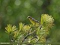 Citrine Wagtail (Motacilla citreola) (27993460243).jpg