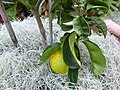 Citrus aurantium 'Bouquet de fleurs' - Sour orange - Missouri Botanical Garden.jpg