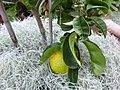 Category citrus aurantium wikimedia commons for Bouquet de fleurs wiki