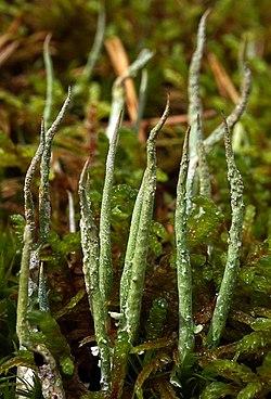 Cladonia cornuta 2.jpg