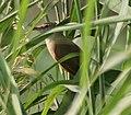 Clamorous Reed Warbler (Acrocephalus stentoreus) in AP W IMG 4054.jpg