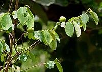 Cleistanthus collinus (Garari) in Narsapur forest, AP W IMG 0165.jpg