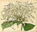Clerodendrum capitatum Bot. Mag. 74.4355.jpg