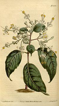 Clerodendrum tomentosum Bot. Mag. 37.1518