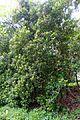 Clethra arborea - Trebah Garden - Cornwall, England - DSC01682.jpg