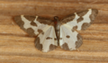 Clouded border moth (43207076242).png