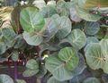 Coccoloba uvifera leaves.JPG