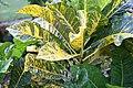 Codiaeum variegatum General Padgett 0zz.jpg