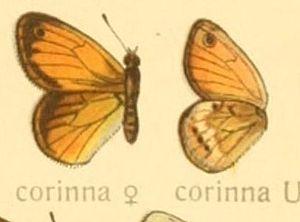Coenonympha corinna - Female upperside left, underside right from Adalbert Seitz