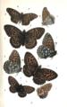 Colemans British Butterflies Plate X.png