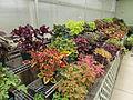 Coleus plant varieties - Des Moines Botanical Center - Iowa, USA - (2).jpg