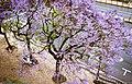 Colorful tree in Lisbon (50969601311).jpg