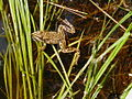 Columbia Spotted Frog (7204149630).jpg