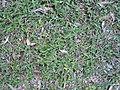 Commelina cyanea (3152800444).jpg