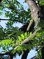 Common Blackbird in tree from below.jpg