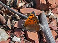Common Copper (Lycaena phlaeas) (8329070127).jpg