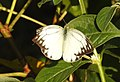 Common Gull Cepora nerissa by Dr. Raju Kasambe DSCN3936 (1).jpg