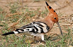 Common Hoopoe (Upapa epops) at Hodal I IMG 9216.jpg