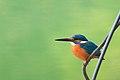 Common Kingfisher 01.jpg