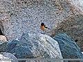 Common Stonechat (Saxicola torquatus) (20496752828).jpg