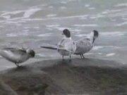 File:Common Tern96.ogv