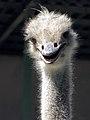 Common ostrich, iran شترمرغ در ایران 08.jpg