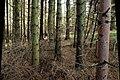 Conifers, Drumkeeragh forest (2) - geograph.org.uk - 1581607.jpg