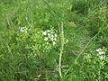 Conium maculatum Hauxley 6.jpg