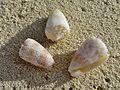 Conus arenatus x3 Landaagiraavaru.JPG