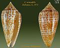 Conus armadillo1.jpg