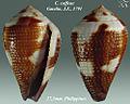 Conus coffeae 1.jpg