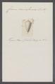 Conus cuneiformis - - Print - Iconographia Zoologica - Special Collections University of Amsterdam - UBAINV0274 086 02 0043.tif