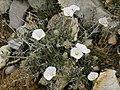 Convolvulus cneorum (habitus).jpg