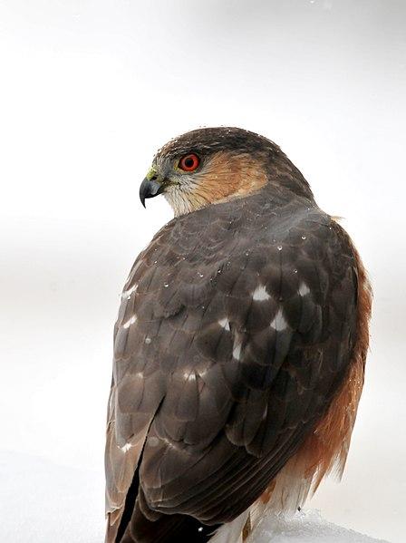 File:Cooper's Hawk on Seedskadee National Wildlife Refuge (26108549123).jpg
