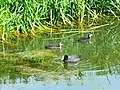 Coot and chicks, Thames and Severn canal, near South Cerney (2) - geograph.org.uk - 484266.jpg