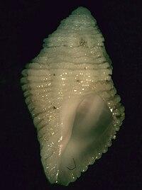 Coralliophila mira 002