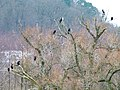 Cormorants - panoramio.jpg