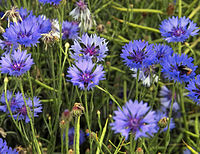Cornflowers (Centaurea cyanus), New Holland, North Lincolnshire.jpg