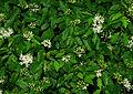 Cornus sanguinea - flowers and leaves 01.jpg