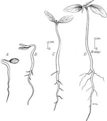 Klíčenie dvojklíčnolistovej rastliny - drieň obyčajný