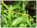 Coromandel marsh dart (Ceriagrion coromandelianum)male. (15152835680).jpg
