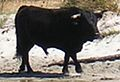 Corse taureau sur la plage (cropped).jpg